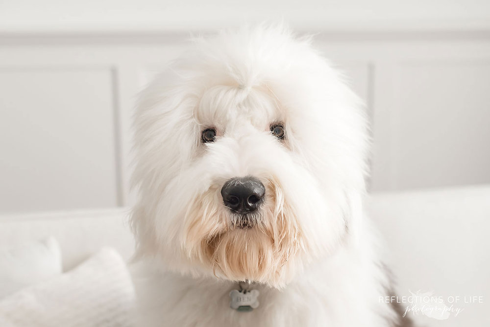 old English sheepdog all white room looking into camera