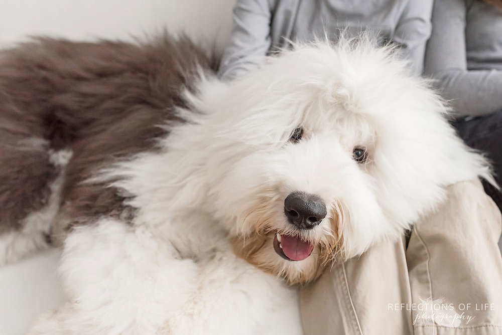 old english sheepdog laying on couch with kids