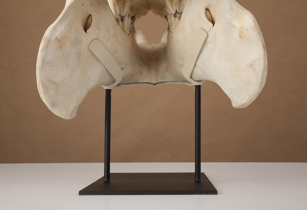 HIPPO SKULL - rear