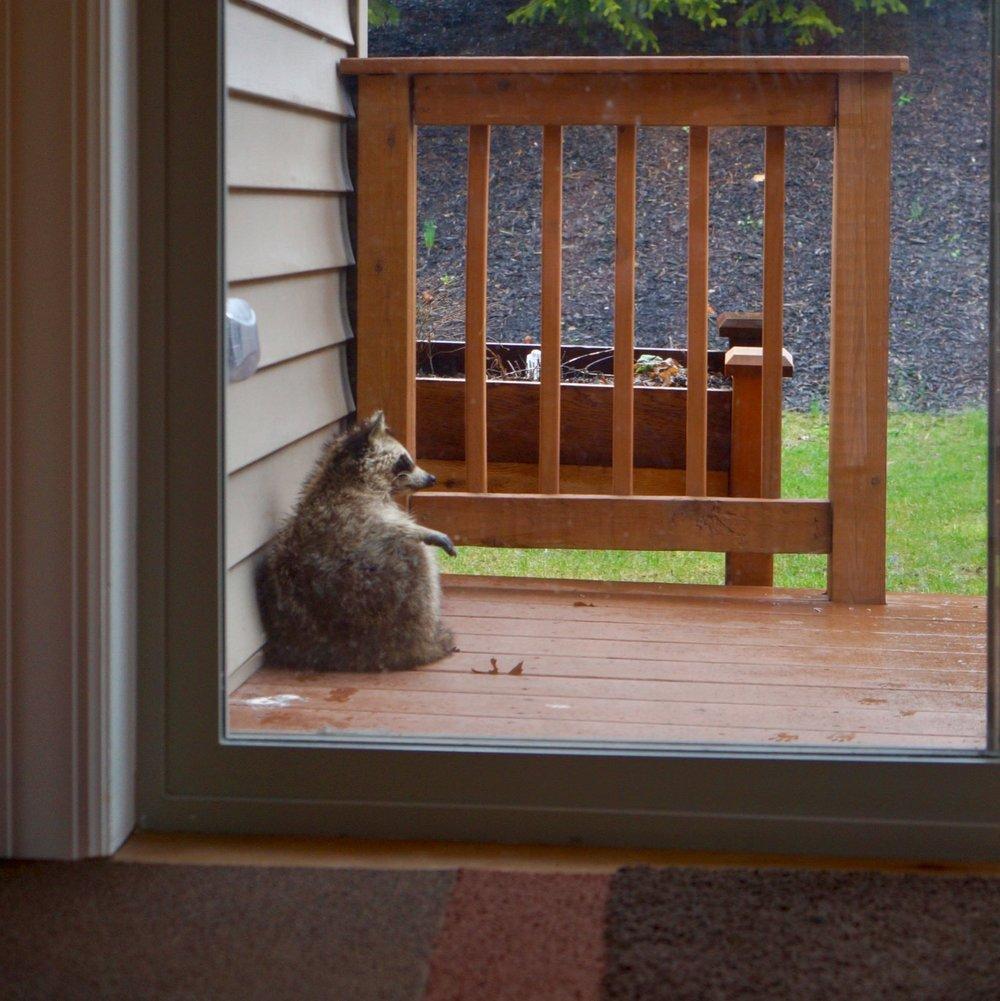 raccoon - 1.jpg