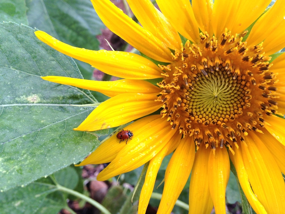 Ladybug hanging out on a sunflower in the Delray Beach Children's Garden