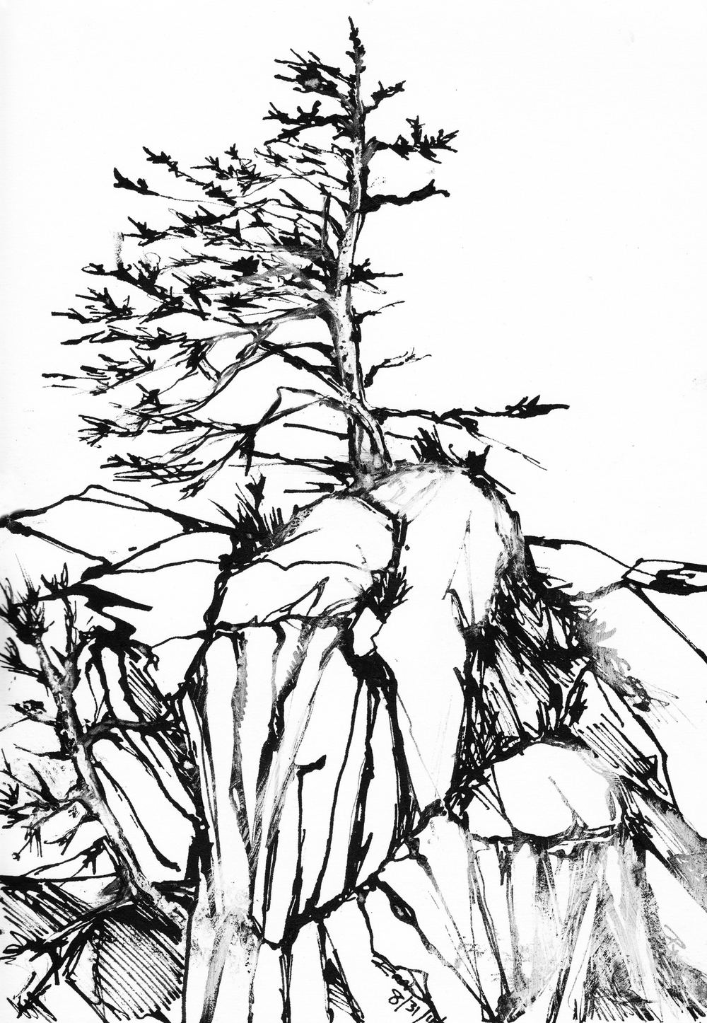 "Tree of Knowledge, Otter Cliffs, Mt Desert ME, 2014 8 1/2"" x 11"""