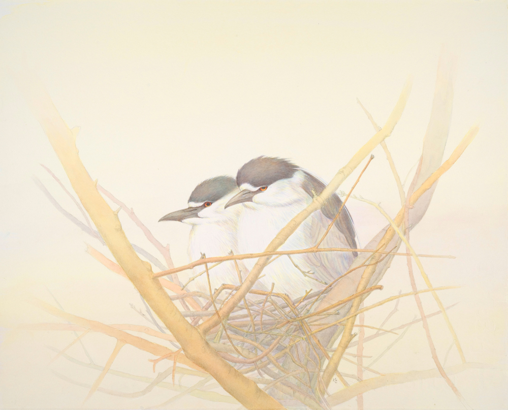 Nesting Black-crowned Night-Herons First Version 11%22x14%22,gouache and graphite.jpg