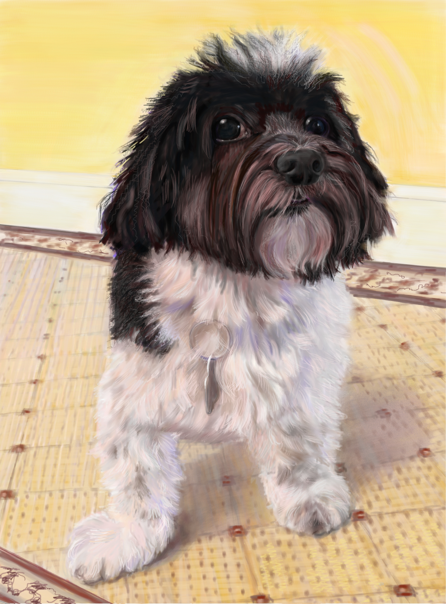 Jazz the Havanese, a pet portrait by Elizabeth B Martin
