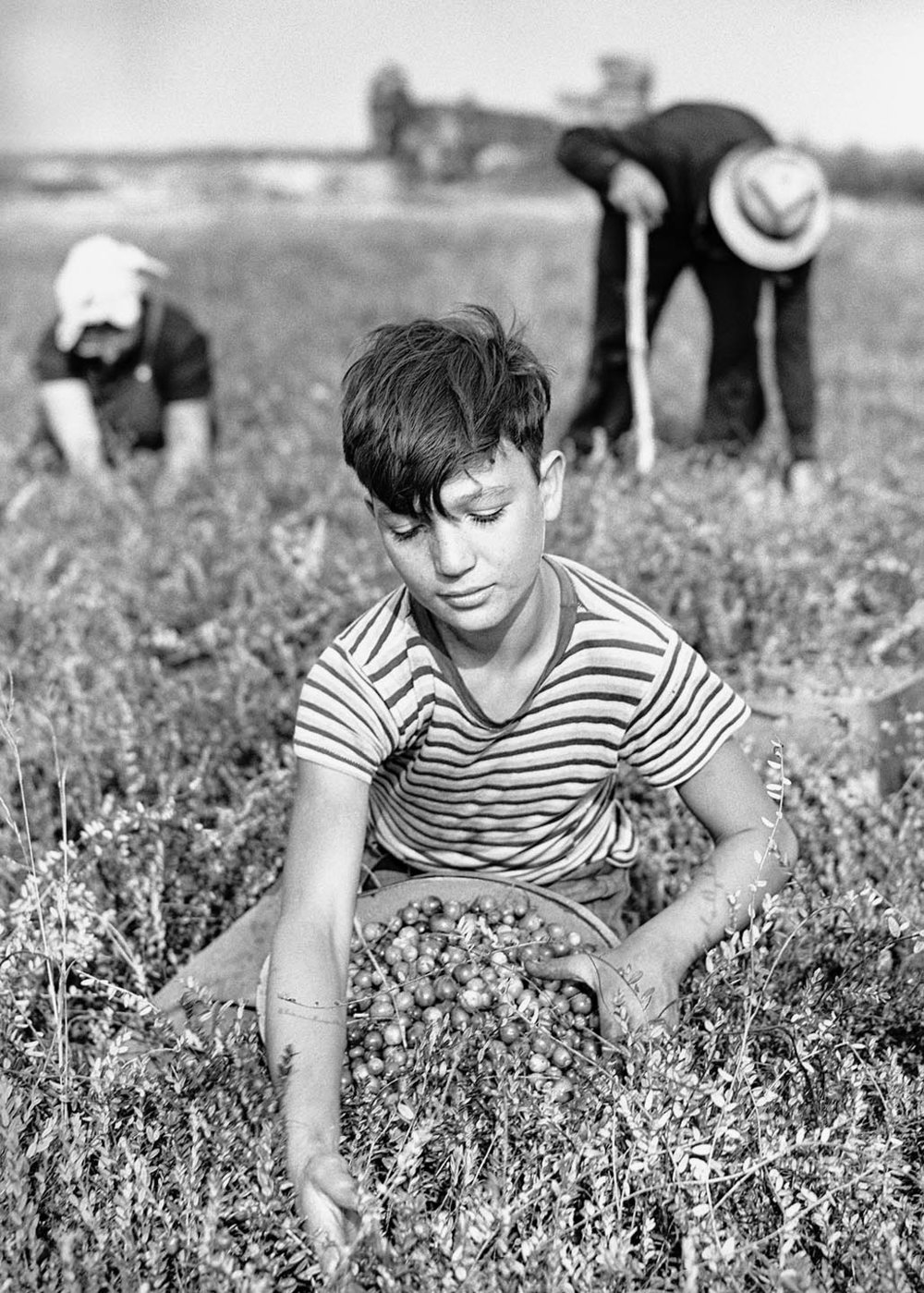 Boy picking cranberries. Burlington County, NJ. 1938