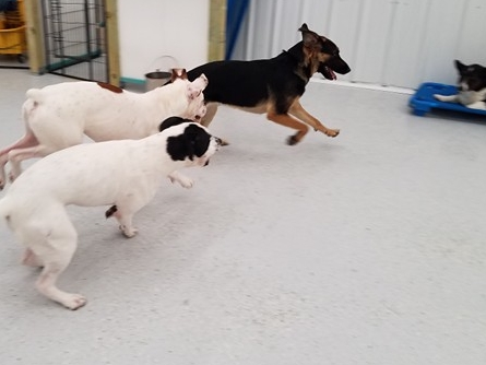Mesa (shepherd mix), Trip (boxer), and Molly (bully mix) love a good game of chase!