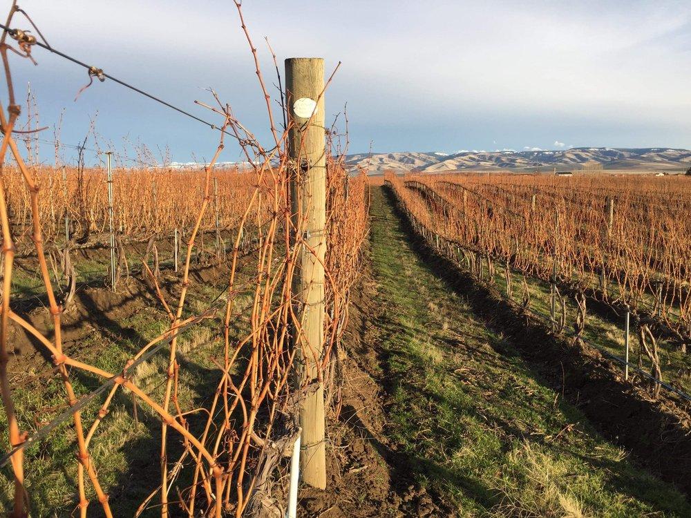 Pepper Bridge vineyard