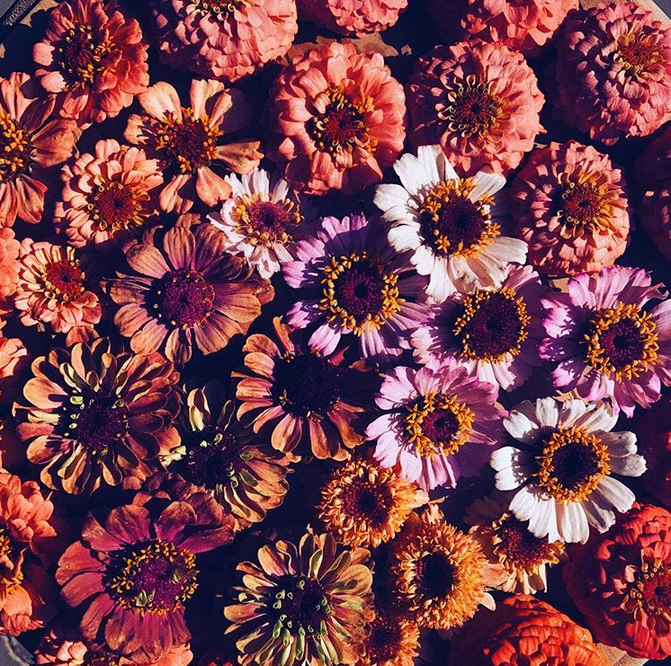 zinnias close up.PNG