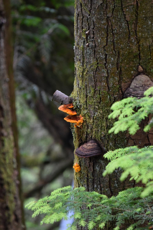 Capilano Suspension Bridge Mushroom growing out of tree.jpg