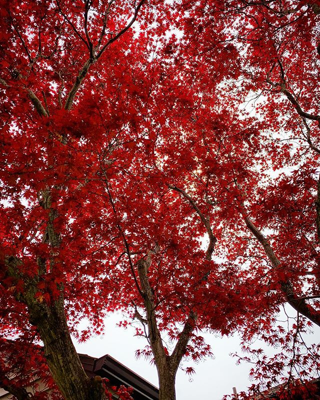 """the front door japanese maple"" - A work of photography by N.C. Williams"