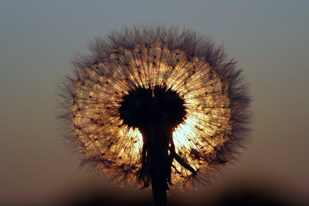 blur-close-up-dandelion-433050.jpg