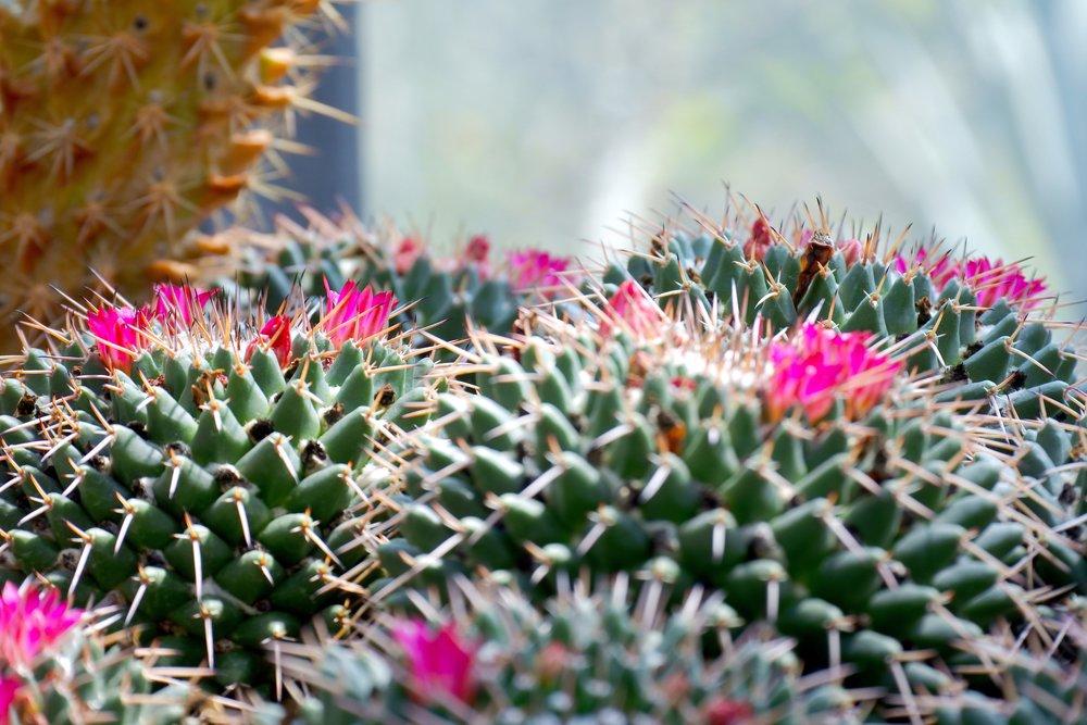 cactus-cactus-flower-cactus-plant-1130320.jpg