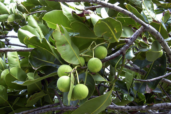 Kukui nut oil supplies antioxidants and linoleic acid to nourish and balance the skin.