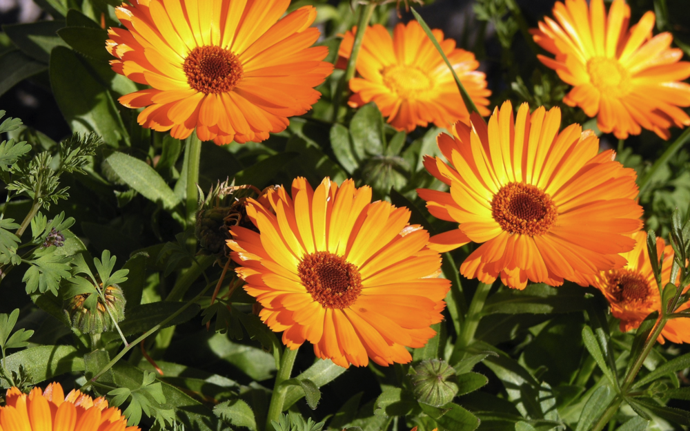 Organic Calendula extract prized for its anti-inflammatory, antibacterial and antiseptic properties.
