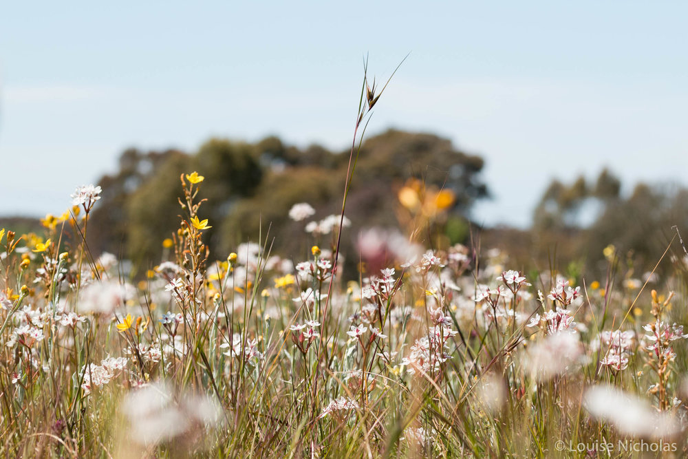 Themeda-Wildflowers.jpg