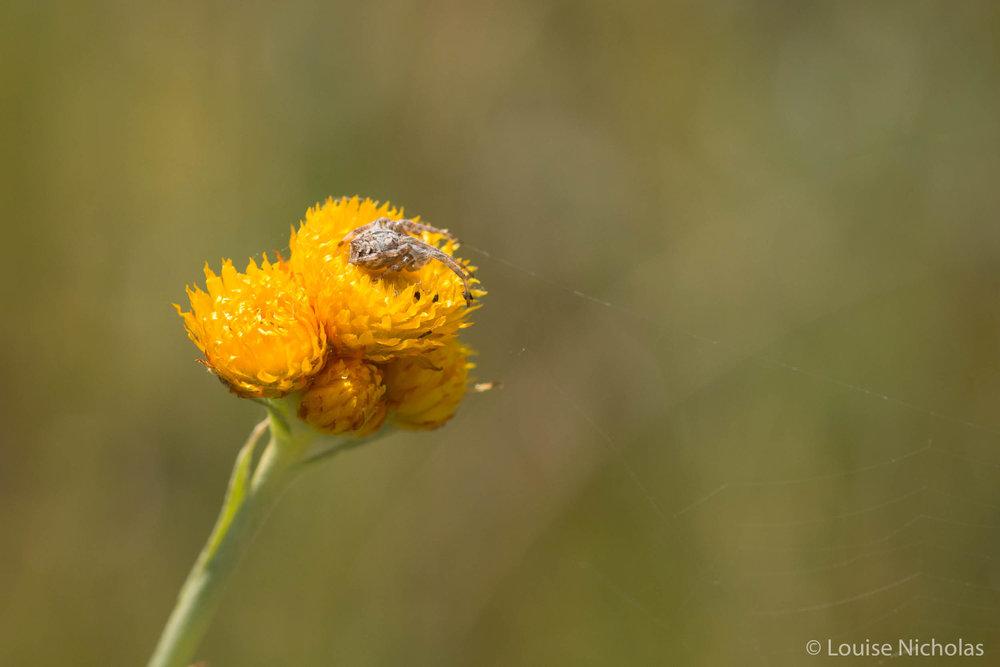 Spider-Chrysocephalum.jpg
