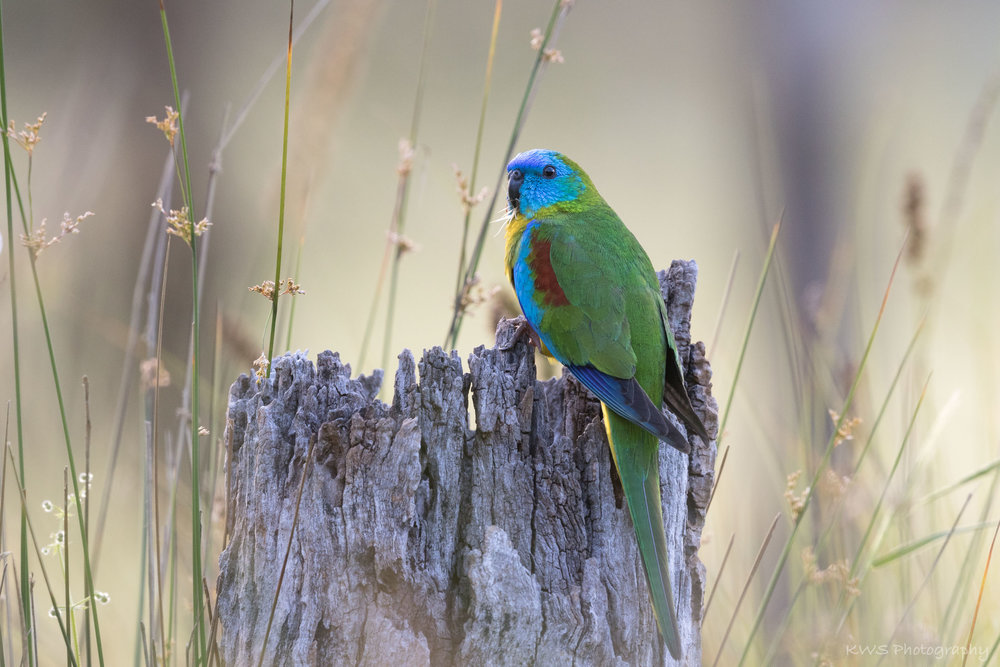 Male Turquoise Parrot (Neophema pulchella)