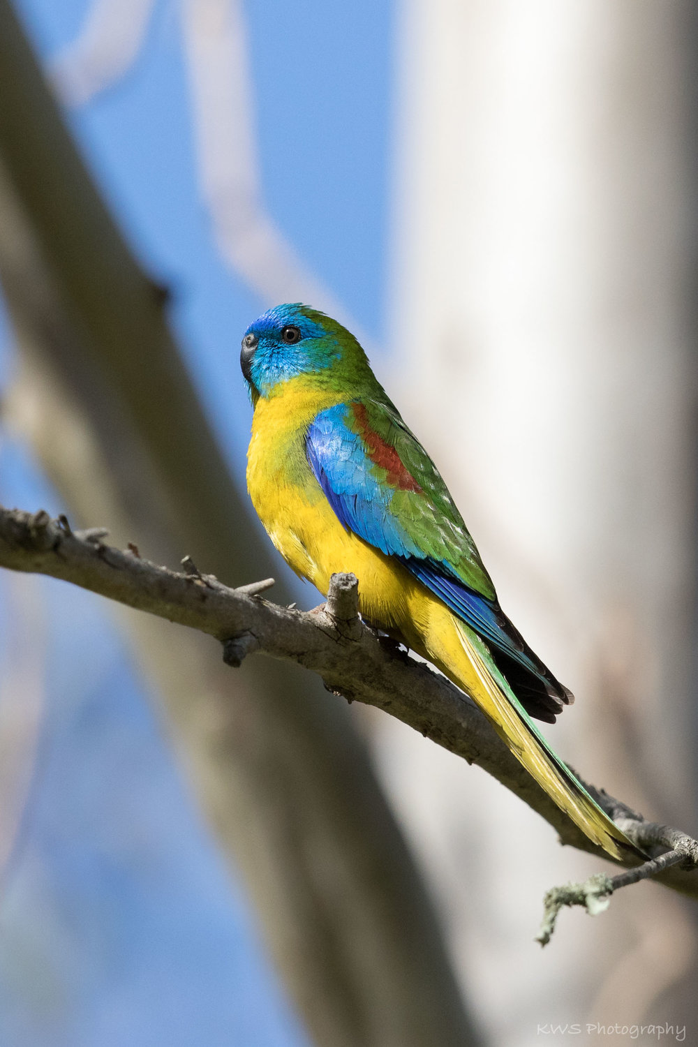 Male Turquoise Parrot
