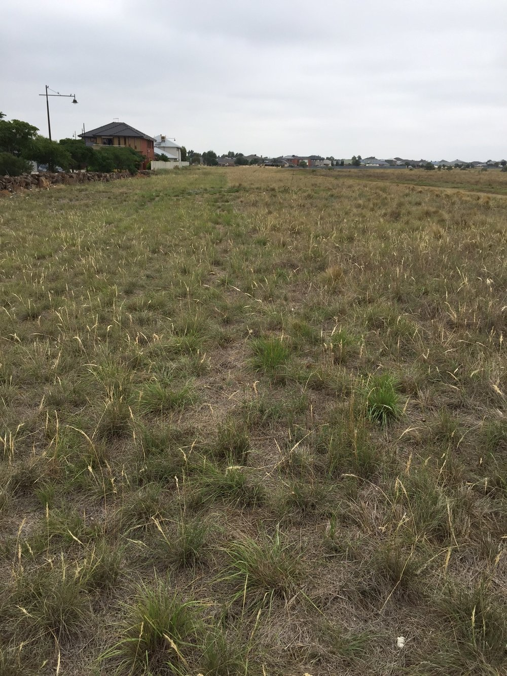 Wallaby Grass dominates the grassland.