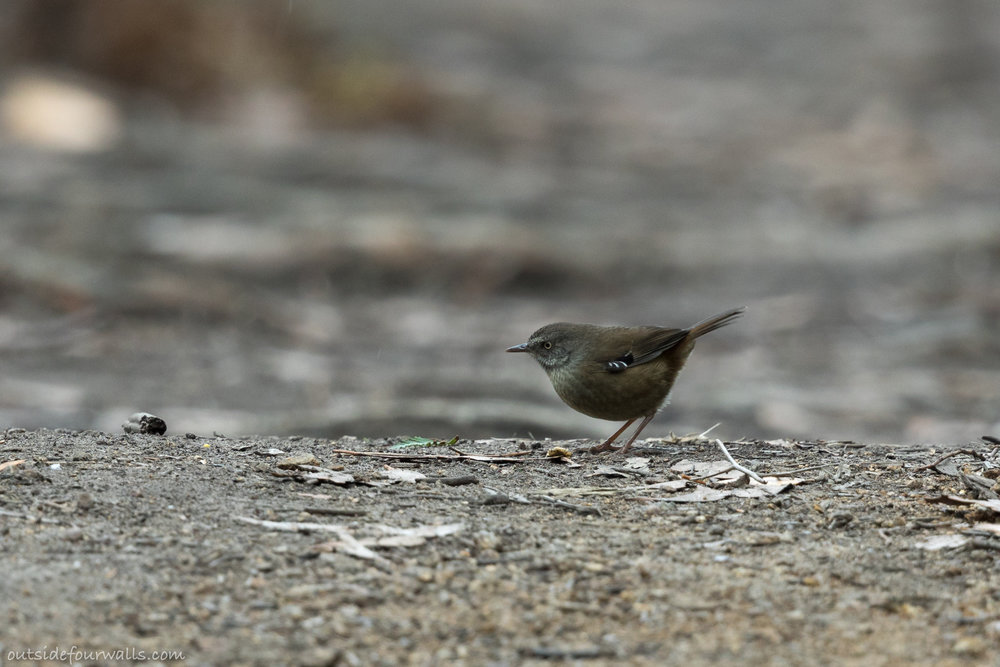 Tasmanian Scrubwren (endemic)