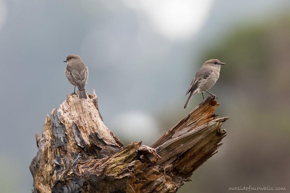 Dusky Robins (endemic)