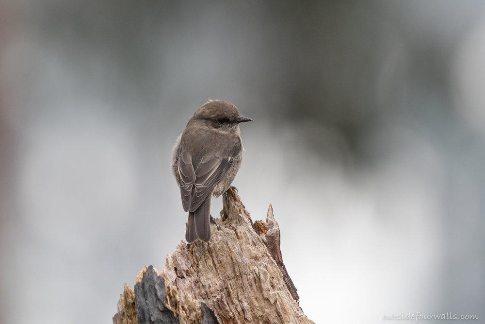 Dusky Robin (endemic)