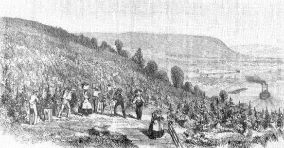 Longworth's vineyards recorded in   Harp   er's Weekly  . 24 July 1858