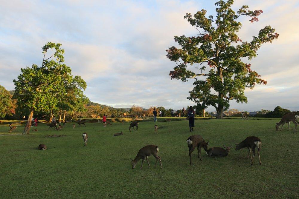 Nara, una pequeña ciudad donde ciervos viven en libertad <3