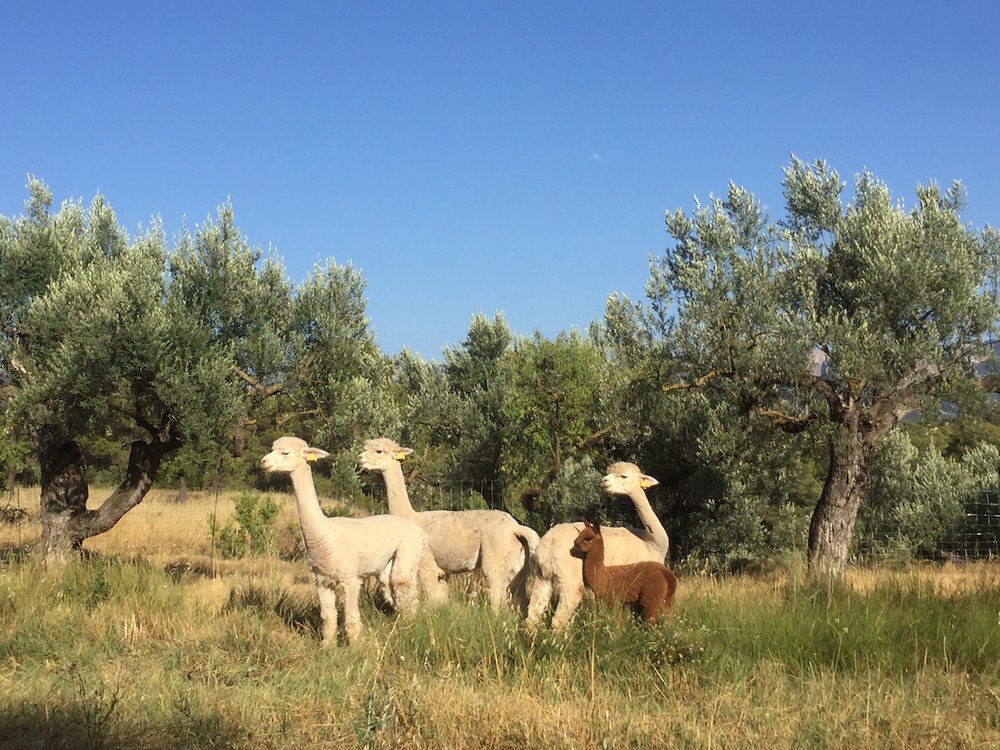 We raise alpacas on our tiny off-grid farm and rural retreat | Mas del Encanto
