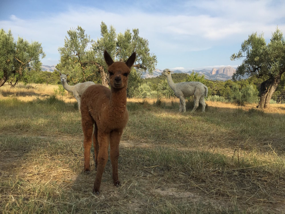 Alpacas at Mas del Encanto | Bed & Breakfast and Rural Retreat in Matarranya, Spain