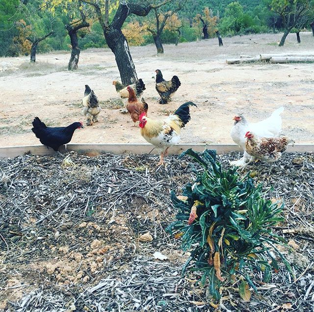 Caught in the act. Now I know who's been eating my kale - and why those baby lettuces aren't growing. #freerange #chickensofinstagram #thebigescape #notinmygarden #kale #permaculture #thiswasnottheplan #casarural #growyourownfood