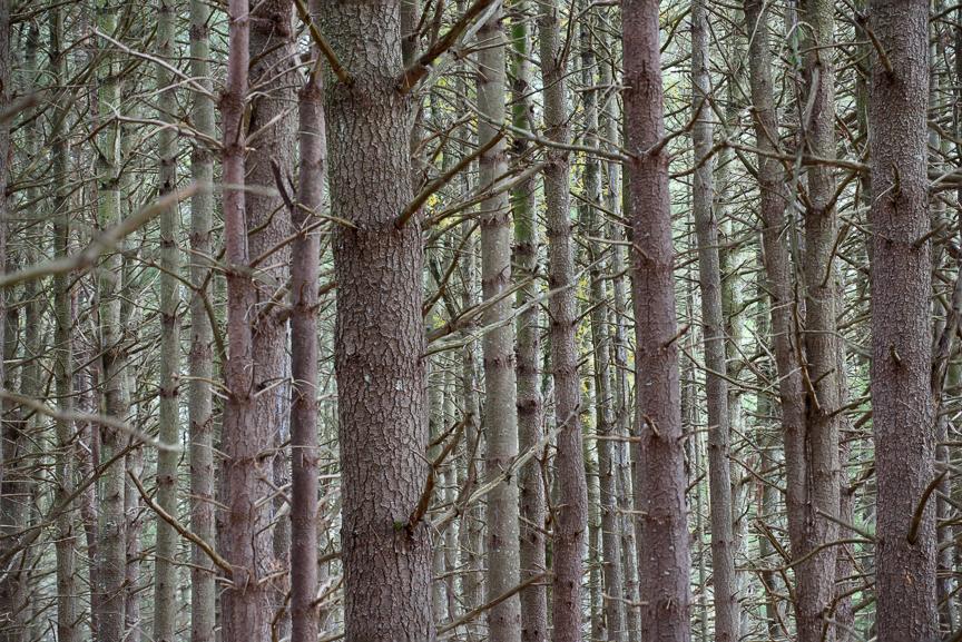 Pines-002.jpg