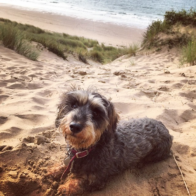 7289f1ecdb594e81-lola-dachshund-wirehaired-gower-beach-oxwich-bay-three-cliffs-nicholstan-farm.jpg