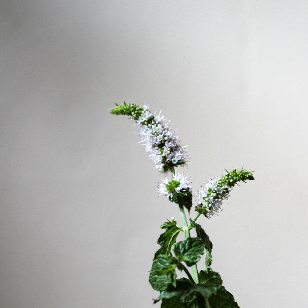 flowering mint, white