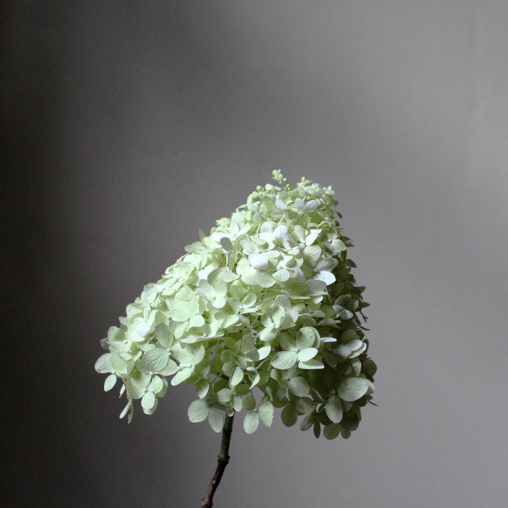 hydrangea, heirloom