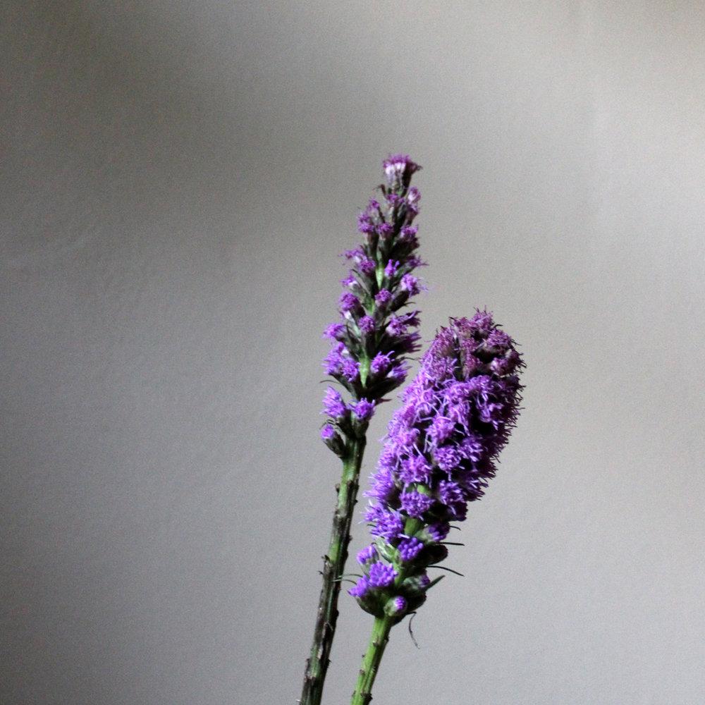 liatris, purple