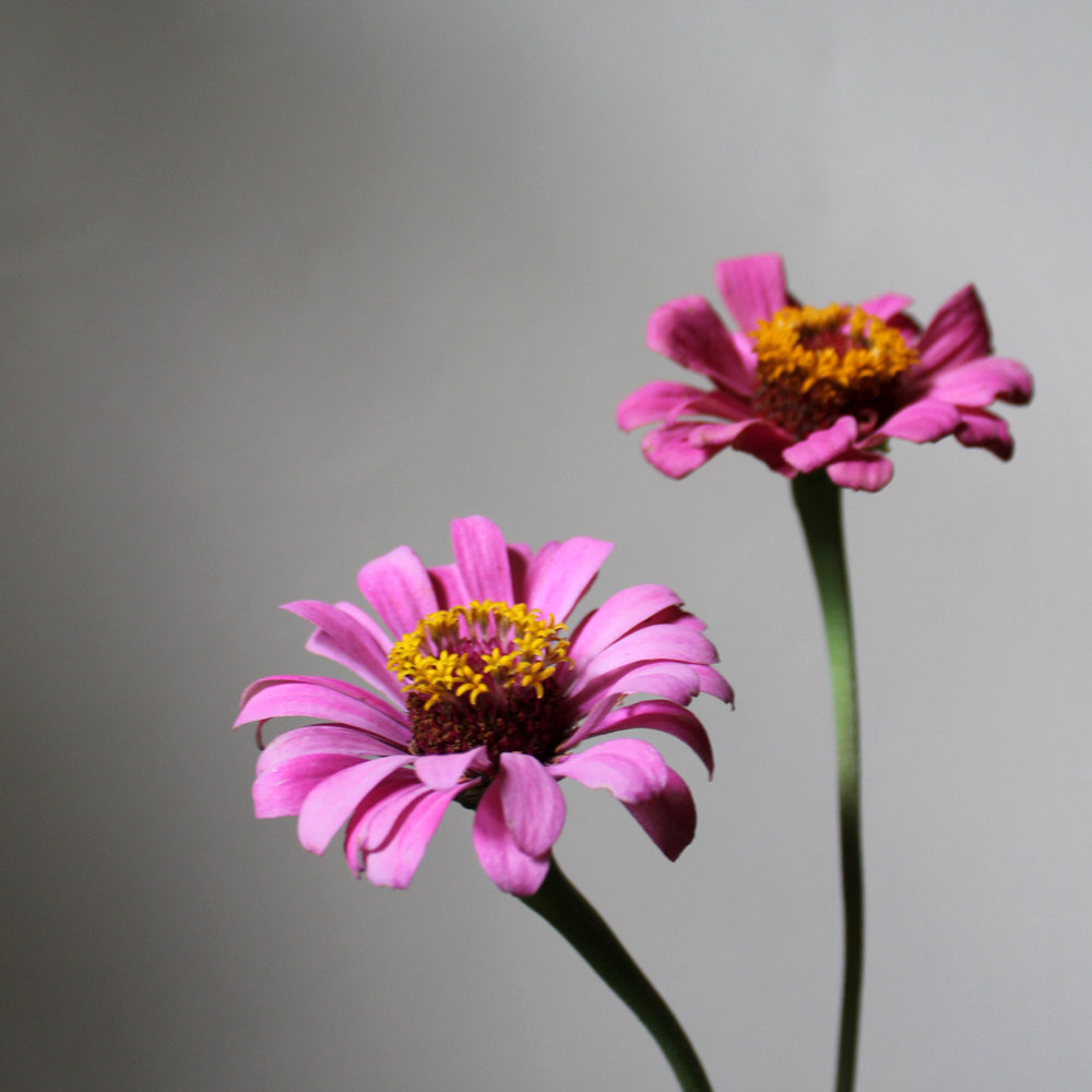 zinnia, pink