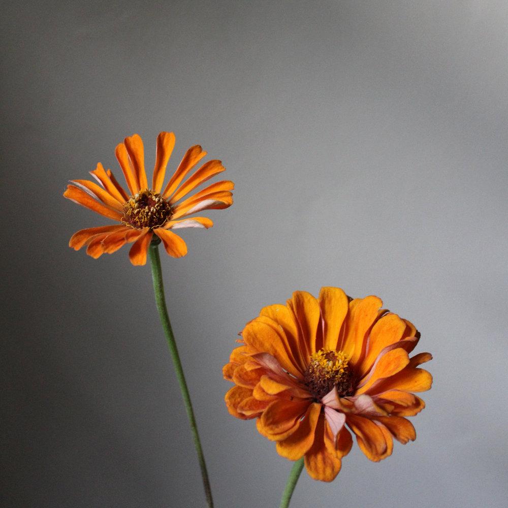 zinnia, orange
