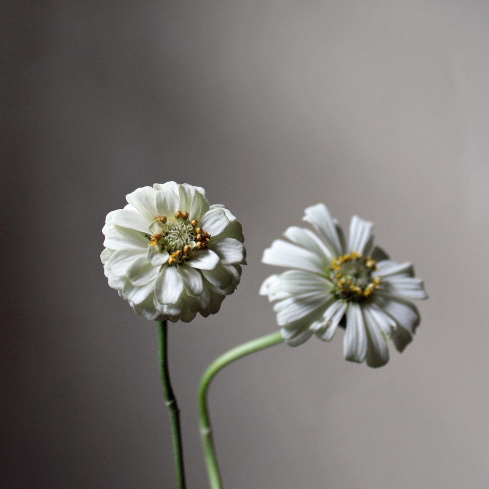 zinnia, white