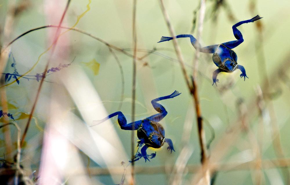 wood frogs blue shadows.jpg