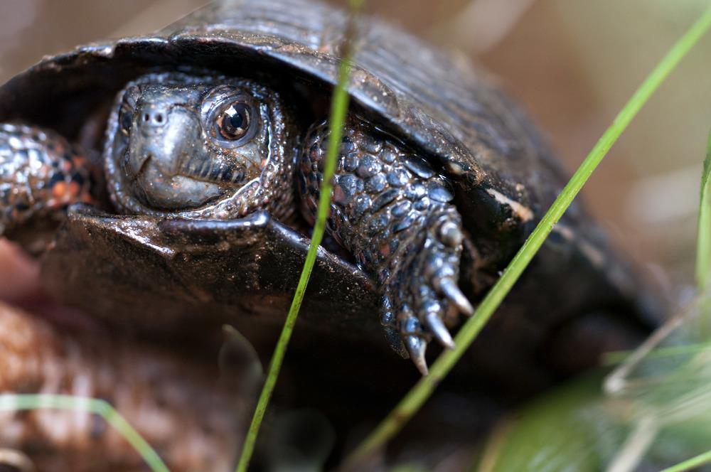 bog turtle 1.jpg