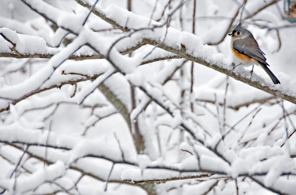 snow wren.jpg
