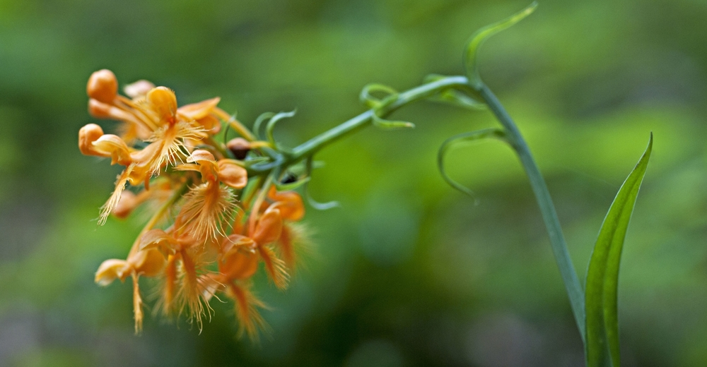 fringed orchid.jpg