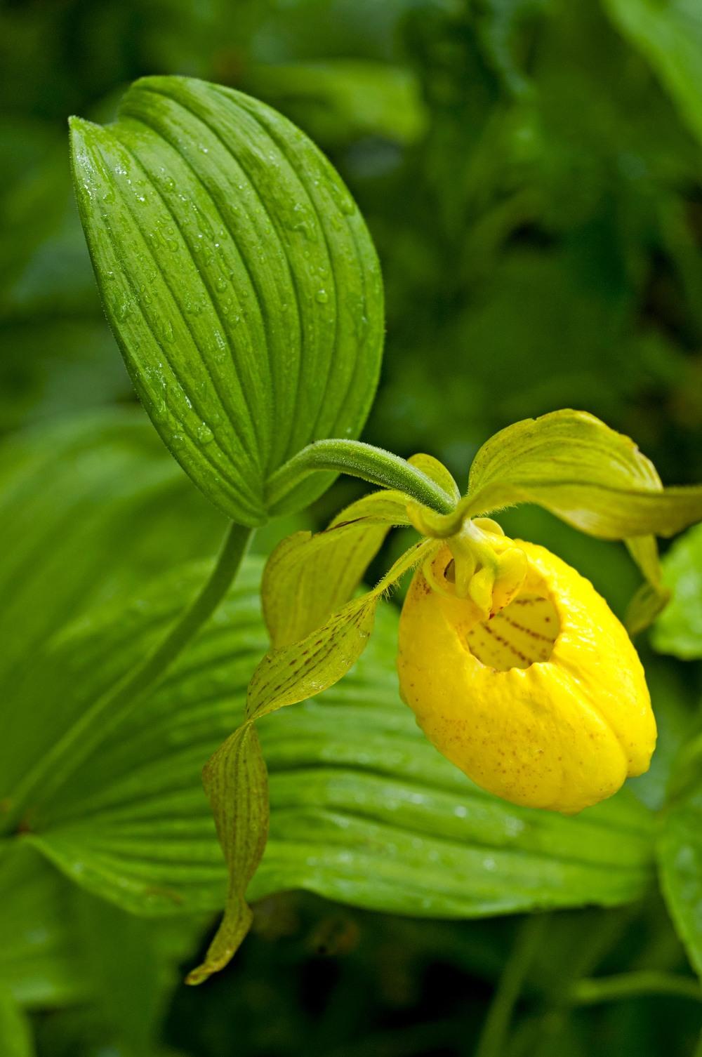 yellowlady3.jpg