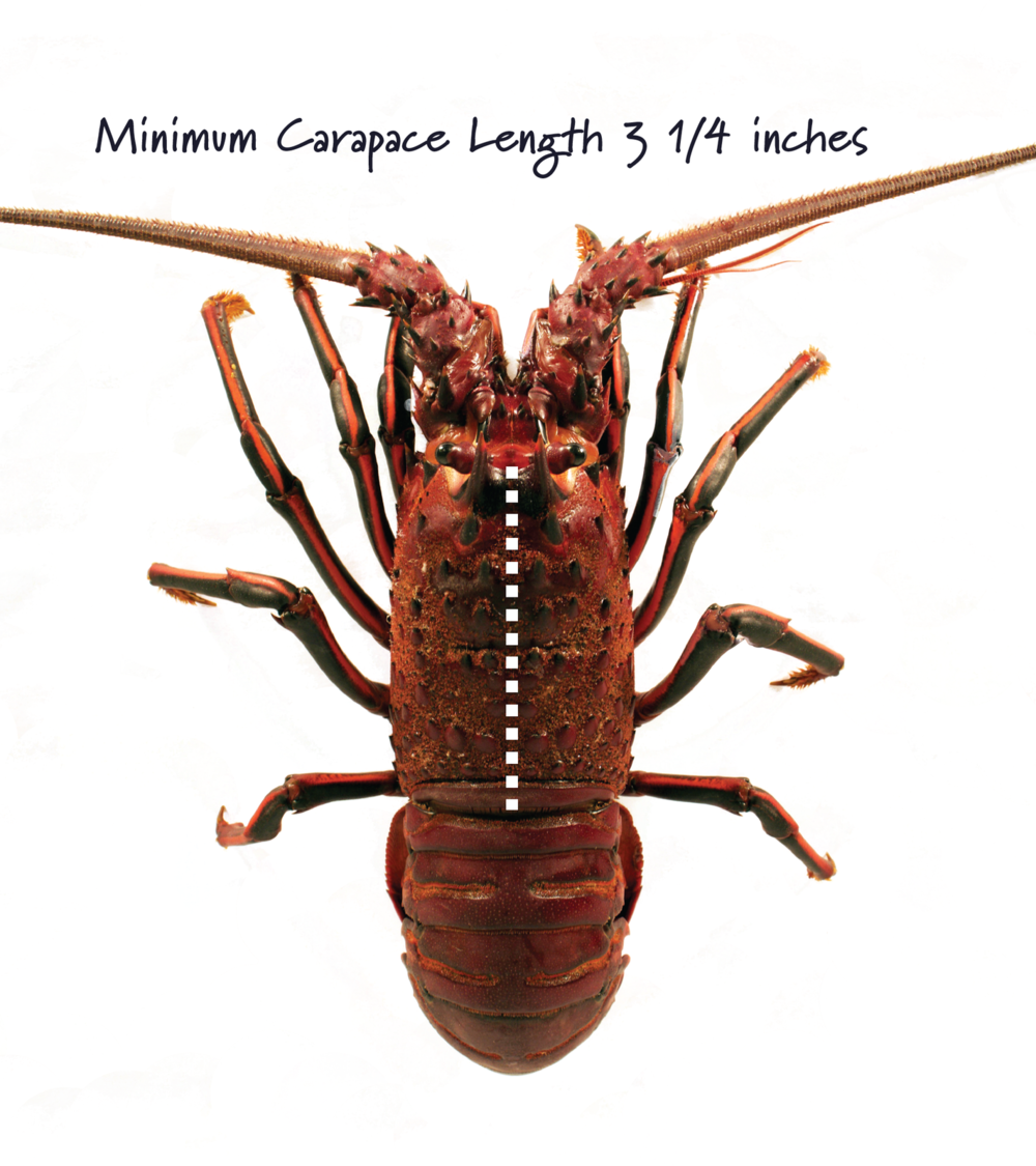 Carapace length is measured in a straight line from the rear edge of the eye socket to the rear edge of the body shell with both points along the midline of the back.