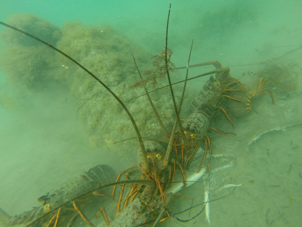 A group of lobsters eating a dead shovelnose guitarfish