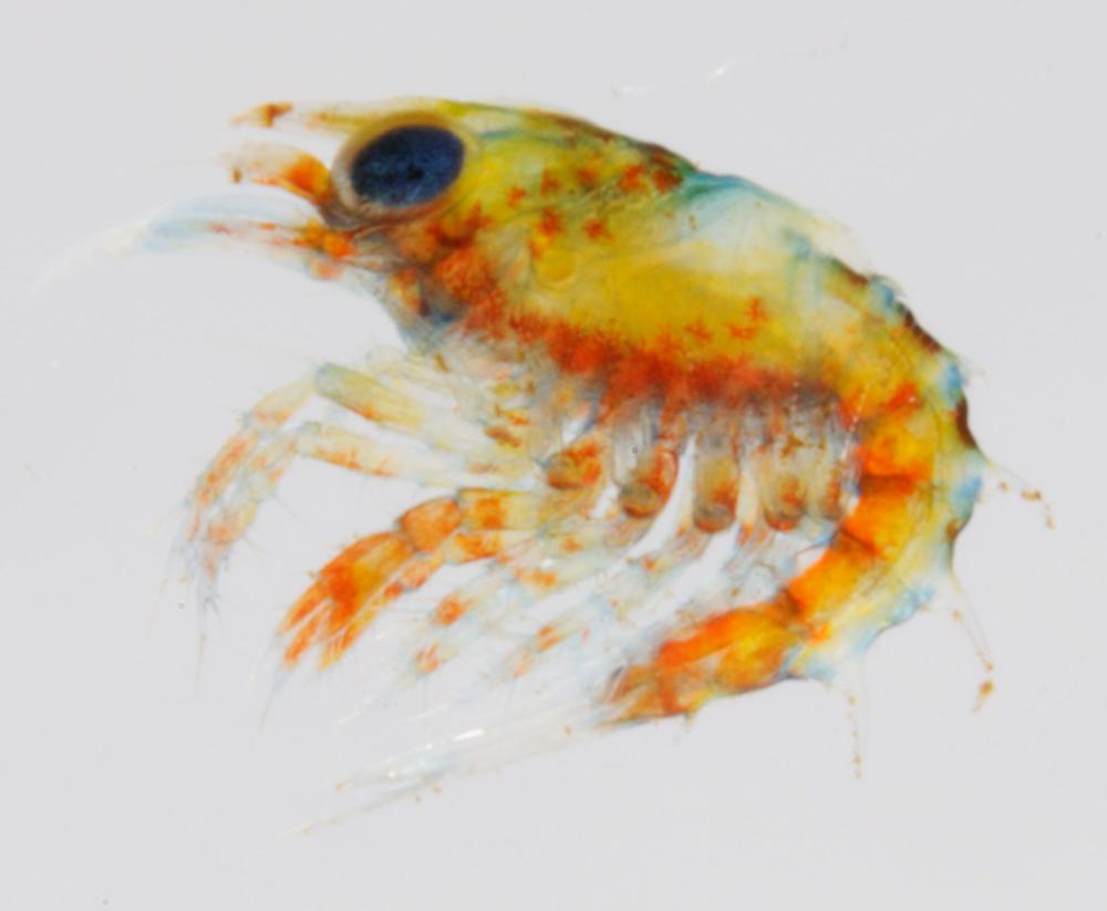 Larval lobster