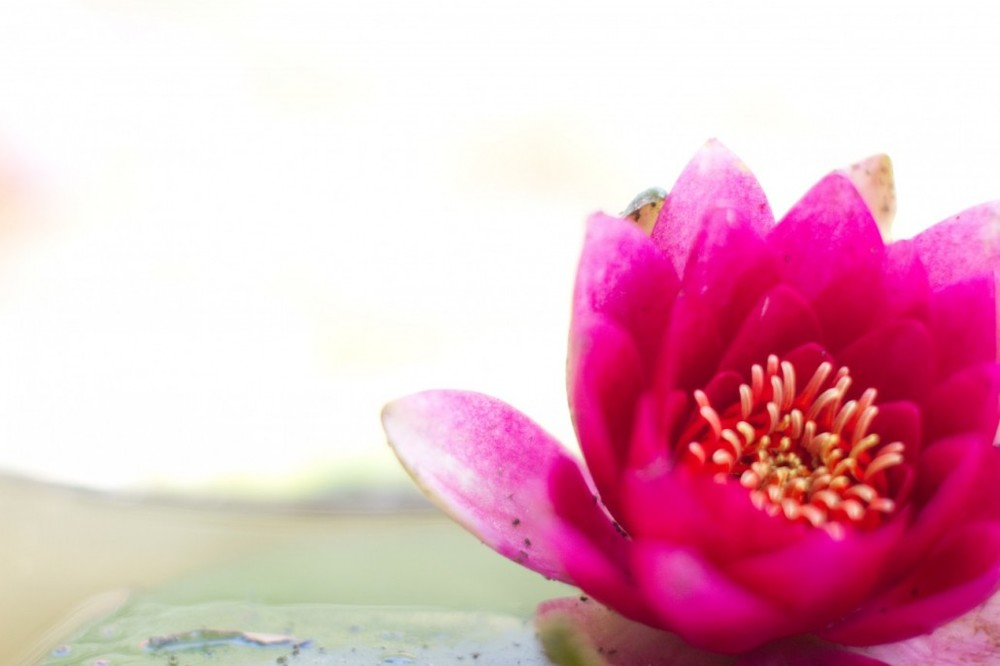 yoga and meditation-flower-india-lotus