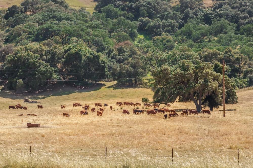 Cows (Custom).jpg