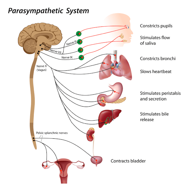 Calming a wigged out autonomic nervous system using the vagus nerve parasympathetic system diagram ccuart Choice Image